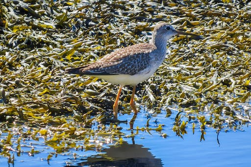 Not so sure about this ID. Maybe Lesser Yellowlegs. Decided on Greater because of the length of its beak.