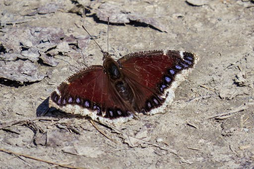 One of the first butterflies seen in the spring. A larger species enjoying the sun and the moderate temperature of the road warmed up by the sun.