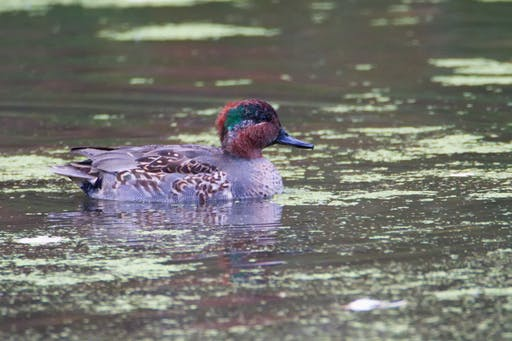 Male Green Winged Teal mid autumn in Park Pointe-aux-Prairies
